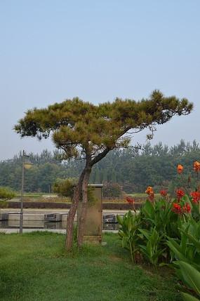 弥河公园里的松树