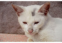凝视前方的白色小猫
