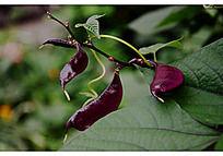 紫色扁豆和绿色叶子