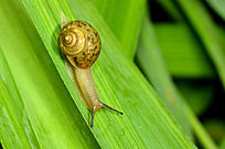 高清稻田间的蜗牛
