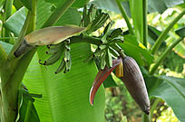 香蕉树上的香蕉
