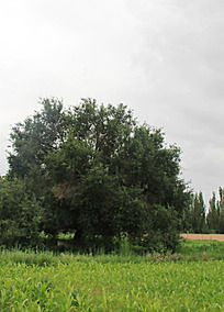 草地中的大树