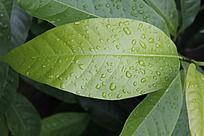带雨水的植物叶子高清特写