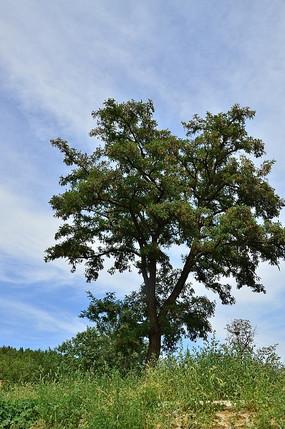 蓝天下的杉树