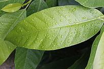 一片绿色的植物叶子高清特写