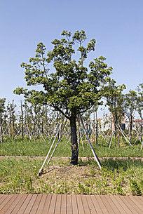 支架保护的绿化景观小树