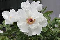 白牡丹花丛