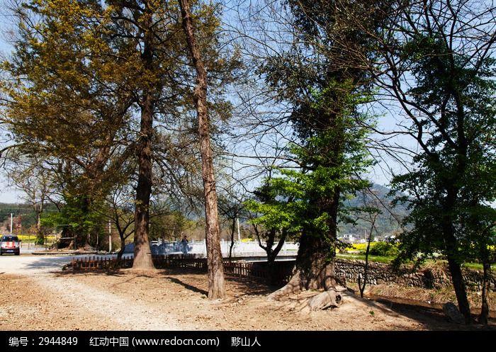 村口的水口大树