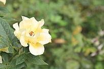 带刺的黄玫瑰