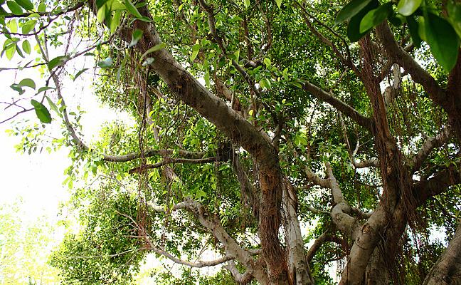 香港黄大仙门口的榕树
