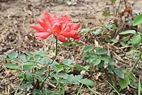 绽放的红玫瑰