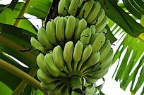 高清香蕉图片下载 野生香蕉