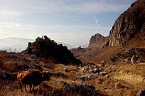 湖北口山前一头牛