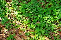 绿荫下的三叶草