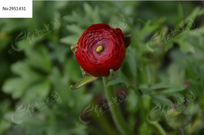 一朵花瓣黄蕊的花毛茛