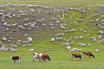 正在吃草的牛羊