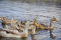 泸沽湖的鸭子