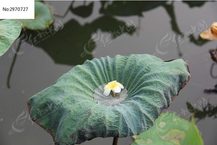 荷叶上的一朵花