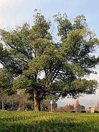 黄石团城山公园大树