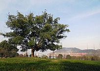 黄石团城山公园树