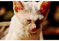 在太阳下低着头闭着眼睛的白色小猫