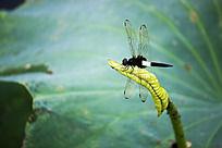 立在荷叶上的蜻蜓