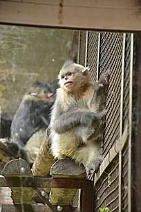 一只可爱的滇金丝猴仰拍