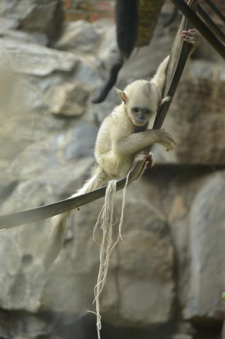 一只可爱的小滇金丝猴图片