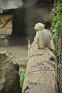一只窝在树桩上的背对着的小滇金丝猴