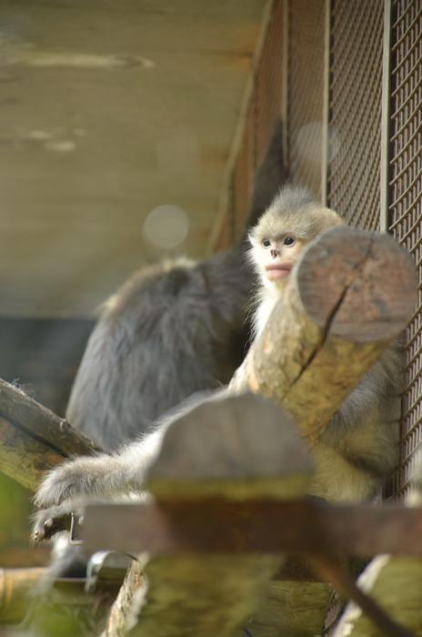 一只窝在树桩上的滇金丝猴图片