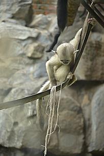 一只向下看的小滇金丝猴