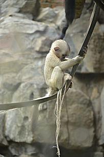 一只自己玩耍的小滇金丝猴