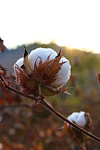 沐浴阳光的棉花