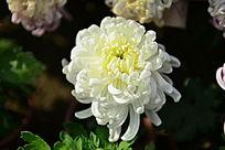 白菊花素材