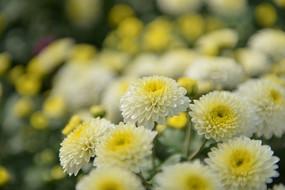 白色的小菊花