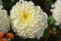 白色菊花的特写