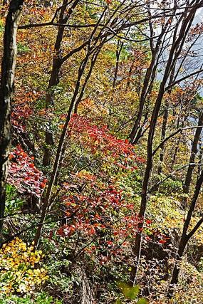 黄山丛林红叶