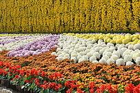 菊花背景图