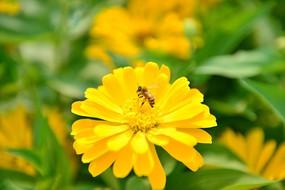 蜜蜂和一朵黄菊花