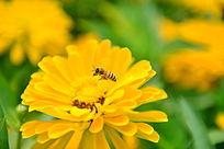 蜜蜂和一朵黄菊花之特写