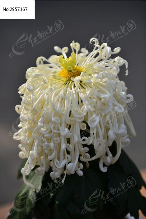 一朵盛开的菊花图片