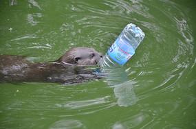 一只抱着矿泉水瓶子的水獭