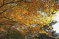 黄山丛林秋的画意
