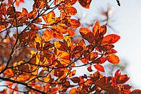 黄山红叶自然风光