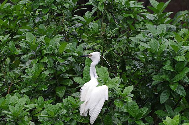 树顶上休息的白鹭鸟