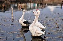 水中曲项的三只鹅雕塑