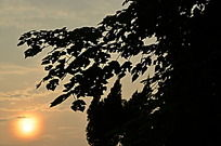 夕阳下的构树柏树剪影