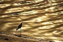 夕阳下金色湖面觅食中的黑翅长脚鹬