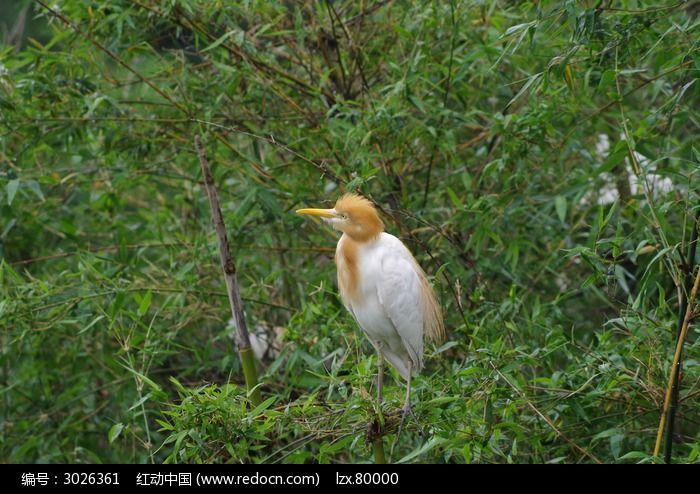 竹林休息的黄嘴鹭鸟图片