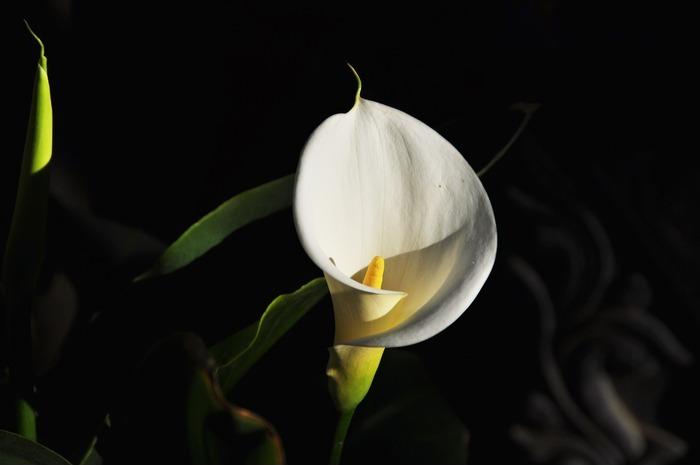 白色马蹄莲花束图片图片